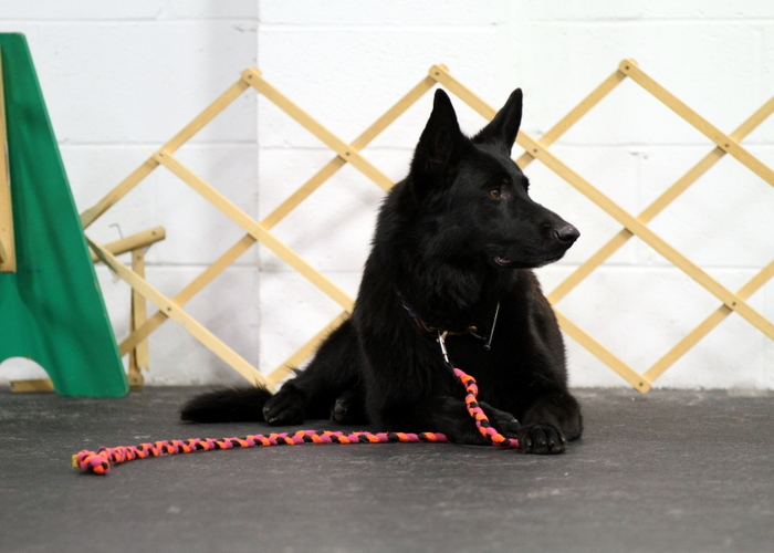 Trinity on a Down Stay in Obedience Class