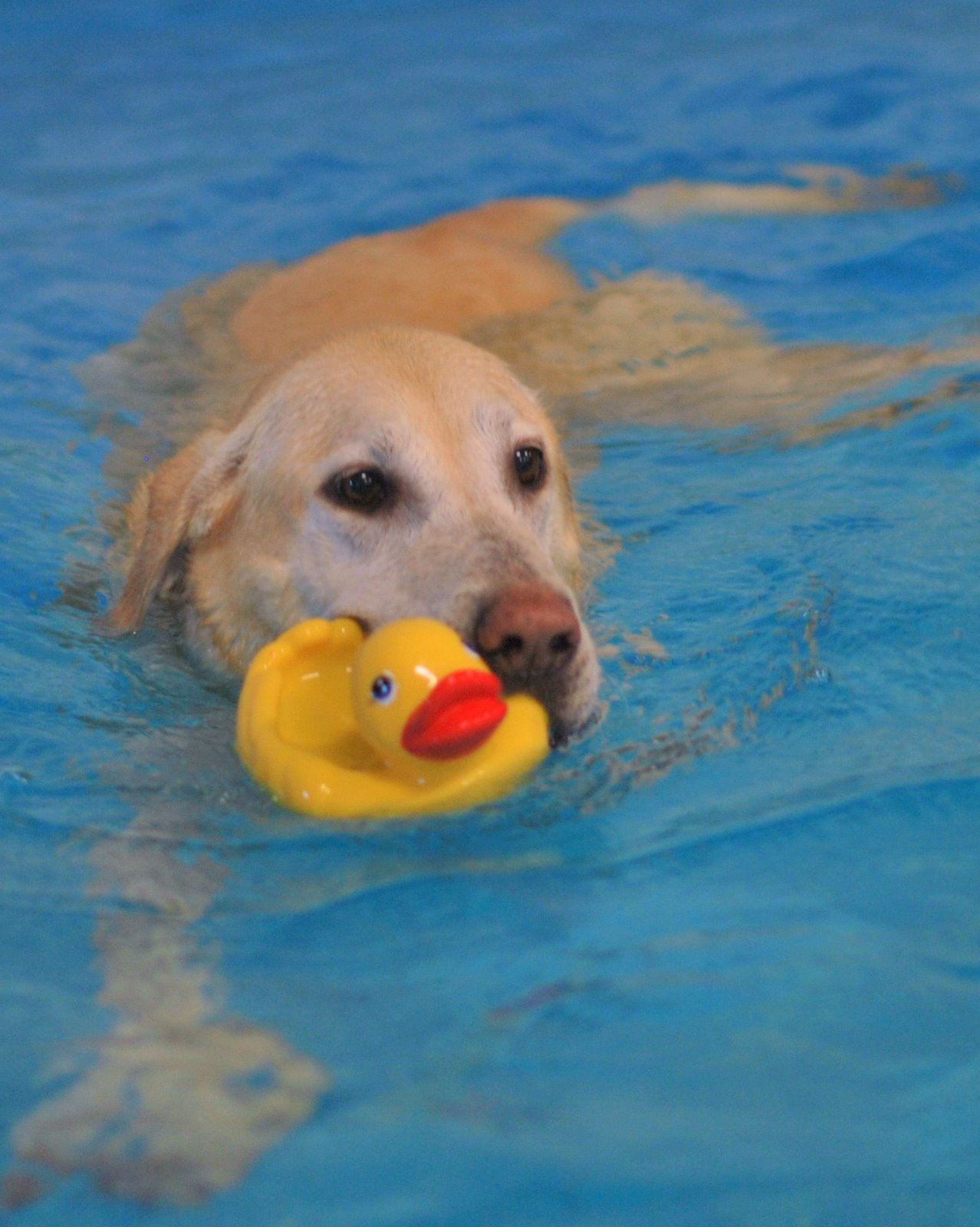 Swimming Paws with Rubber Ducky