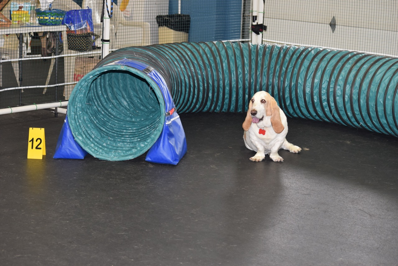 Agility: Any dog can do agility. This is Truman a 6 year old rescue basset hound, owed and loved by Beth Bilson